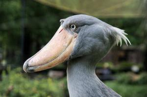Голова китоглава