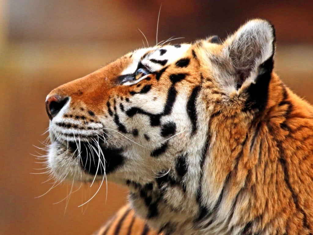 Голова тигра крупным планом