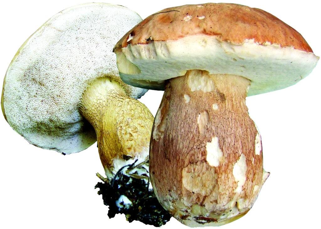 Желчный гриб (горчак)