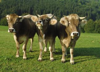 Почему коровье мясо называют говядина?