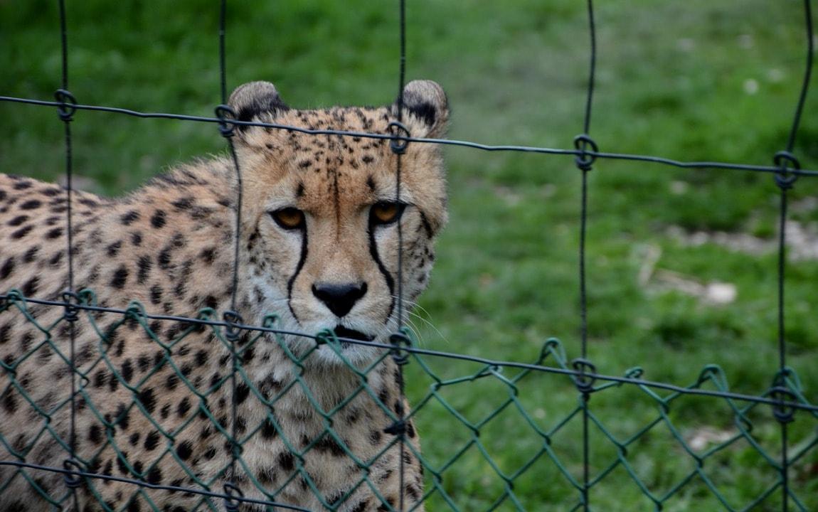 Браконьеры ловят гепардов и сажают в клетки