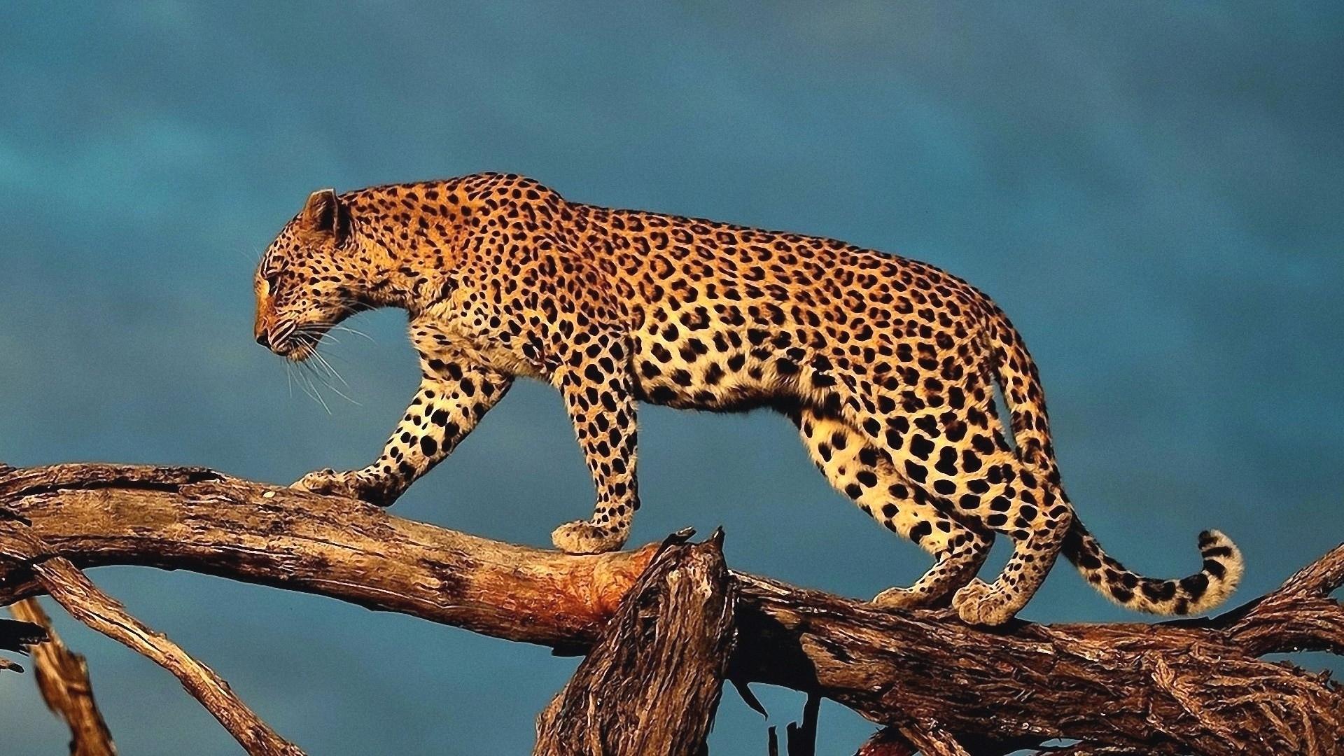 Гепард на упавшем дереве