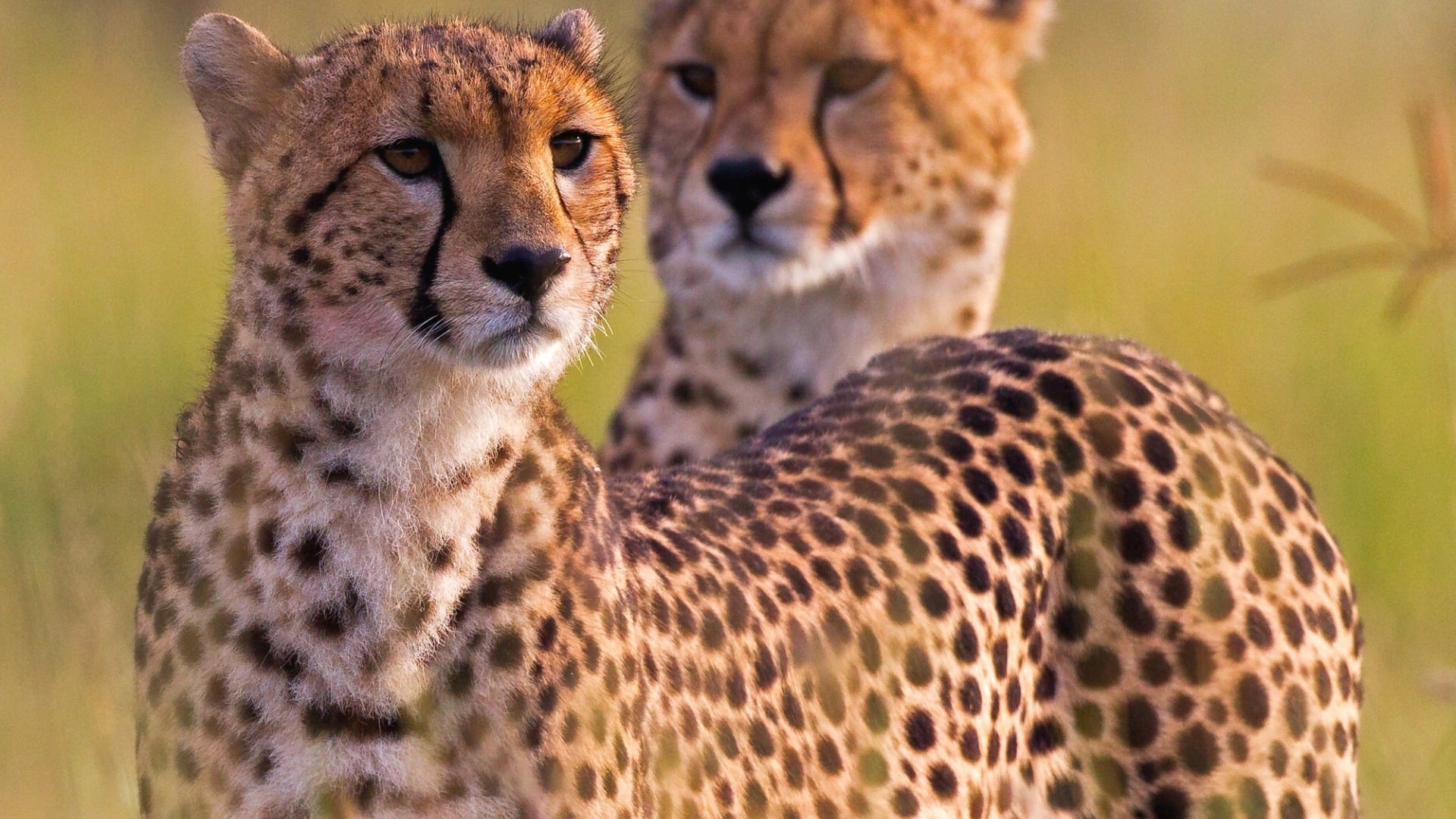 Два гепарда из одной популяции
