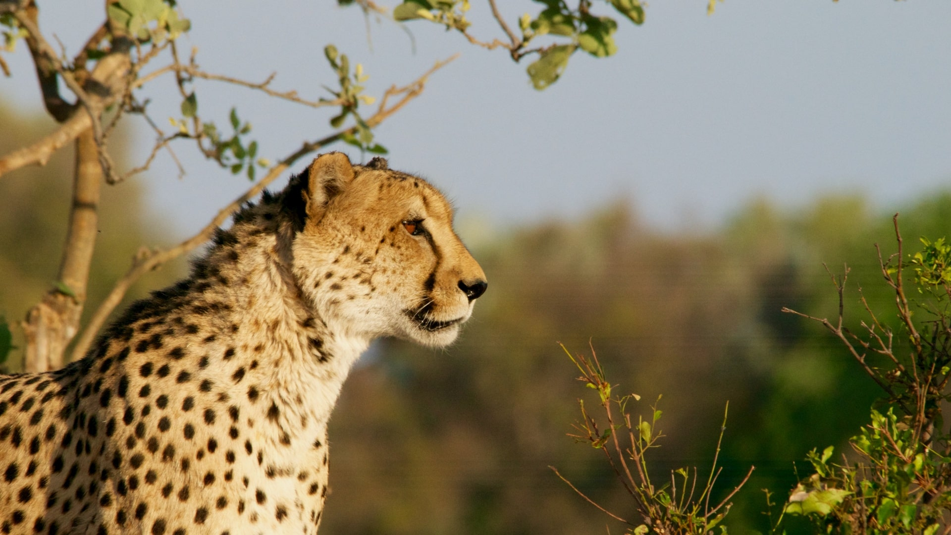 Гепарды постепенно вымирают