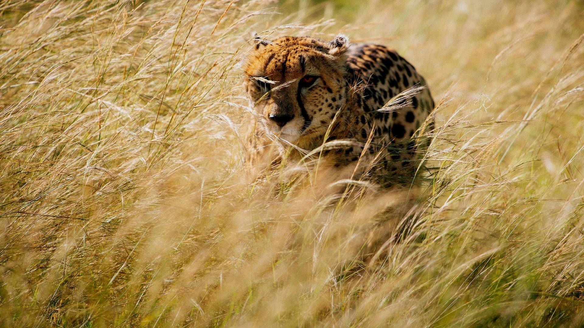 Гепард выслеживает добычу