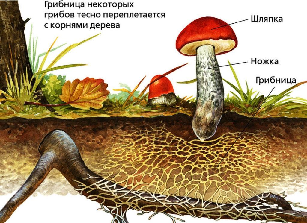 Грибница подосиновика