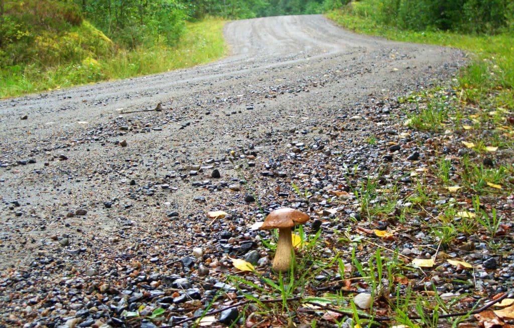 Нельзя собирать грибы, растущие у дороги