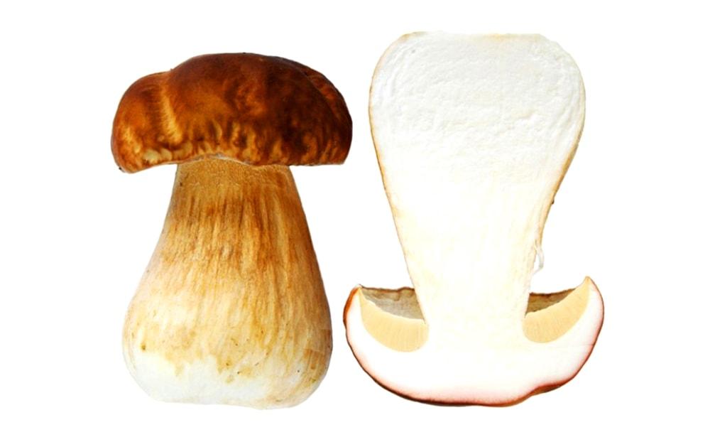 Белый гриб в разрезе