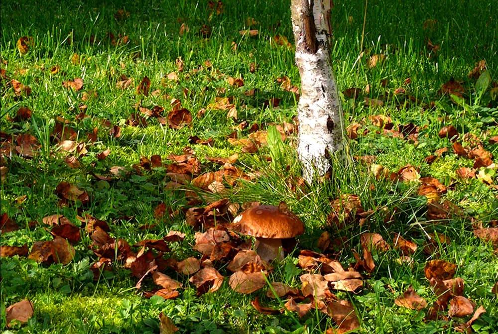 Белые грибы вырастают около березы