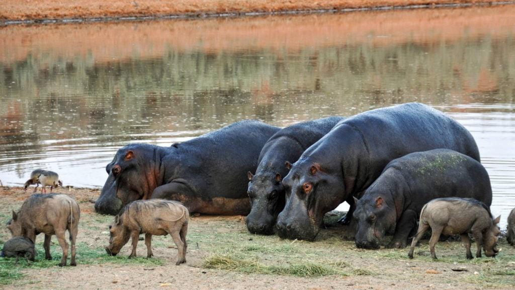 Группа бегемотов