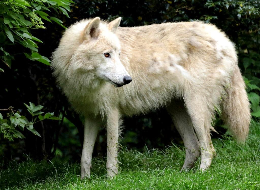 Гудзонский волк