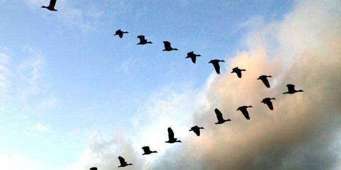 Дикие гуси улетают на юг