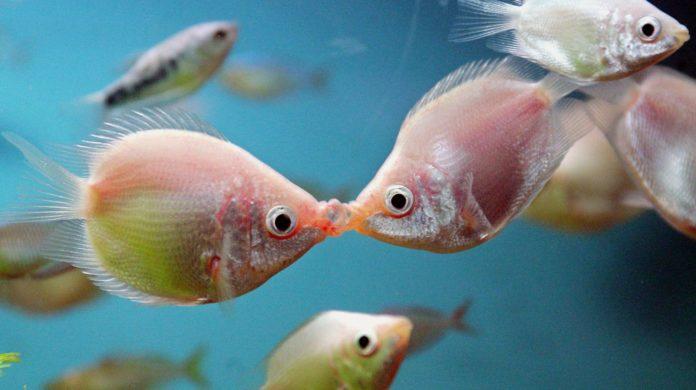 Чем «говорят» рыбы?