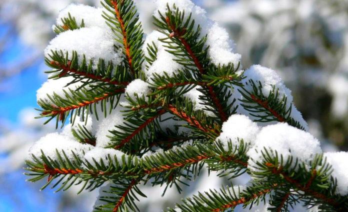 Идет ли зимой фотосинтез у хвойных?