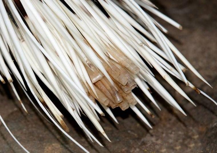Полые иглы в хвосте дикобраза