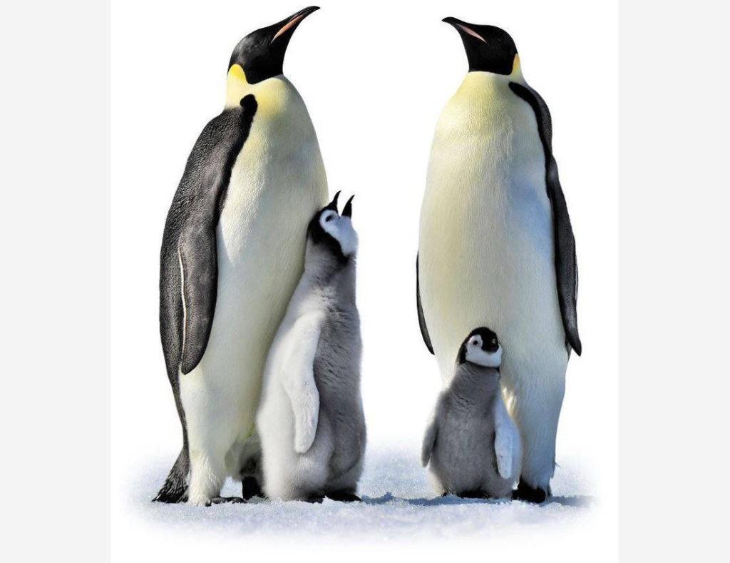 Императорский пингвин с птенцом