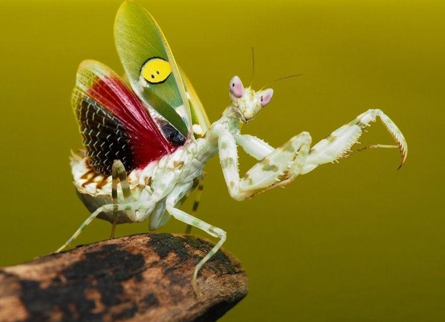 Индийский цветочный богомол