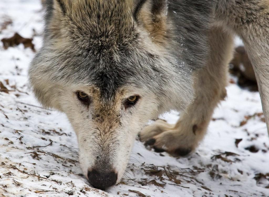 Волк изучает местность