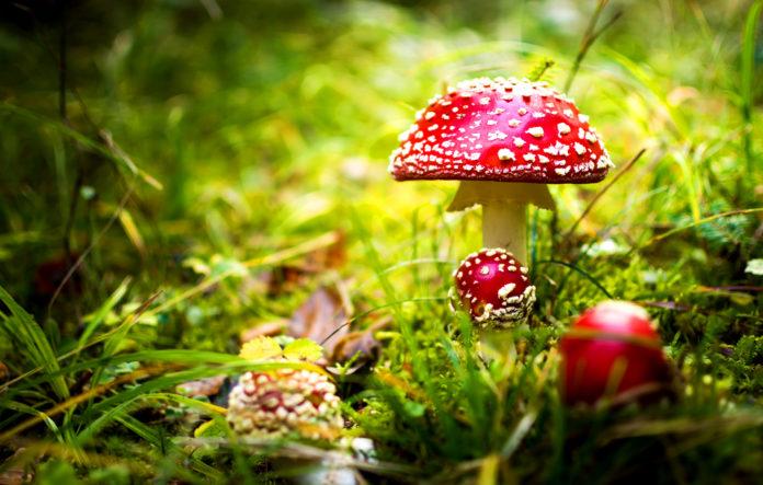 Ядовитые грибы – список, фото, название, описание, видео, как отличить