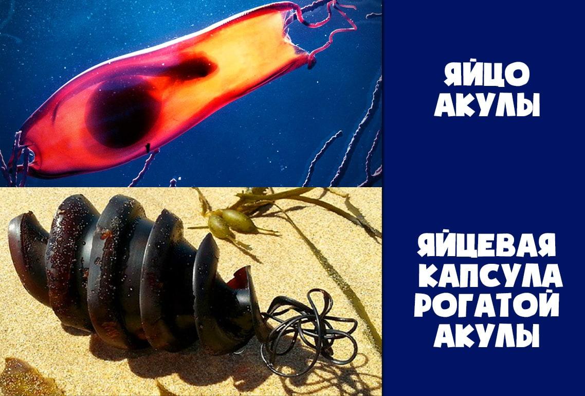 Яйцевые капсулы акул