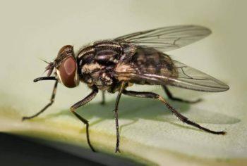Жигалка - осенняя муха