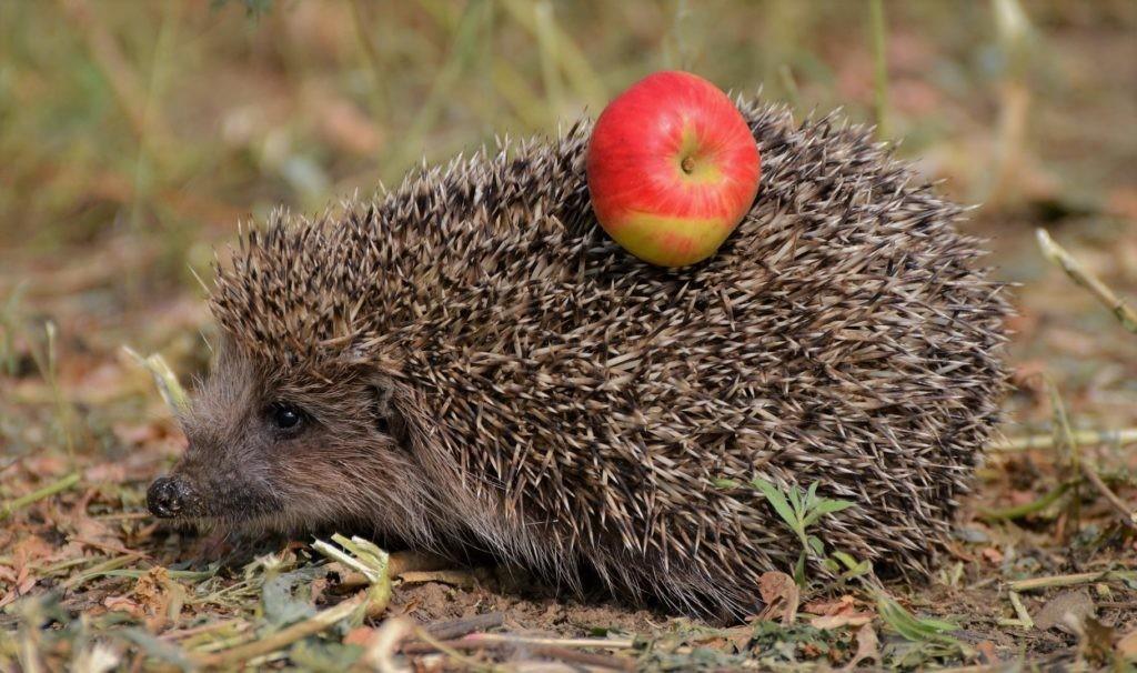 Еж никогда не насаживает яблоко на иголки. Это всегда делает человек ради фото или съемки видео.