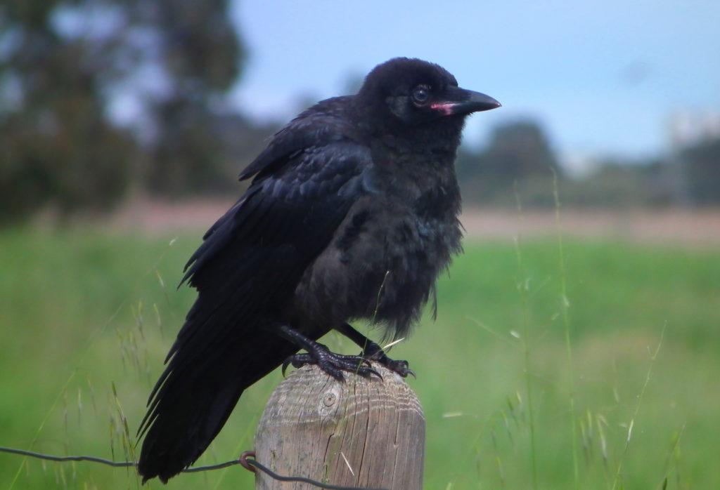 Южноавстралийская ворона