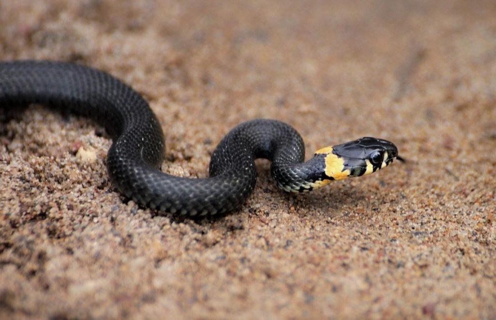 Ужа легко отличить от остальных змей по светлым пятнам позади глаз