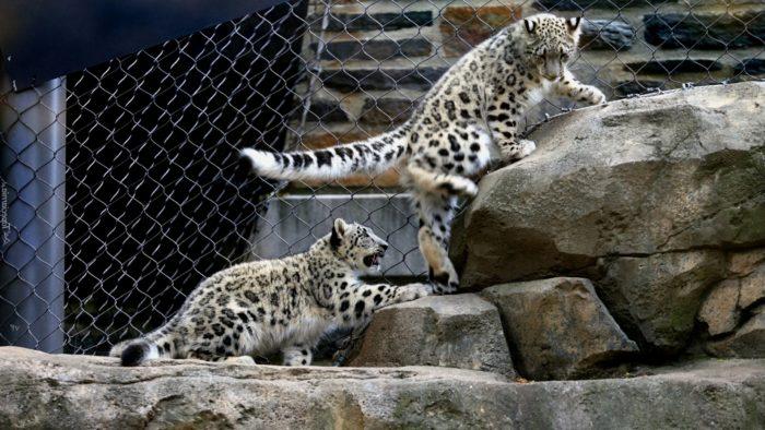 Юные ирбисы осваиваются в зоопарке