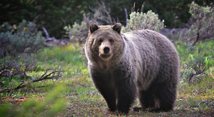 Медведи считаются долгожителями среди животных