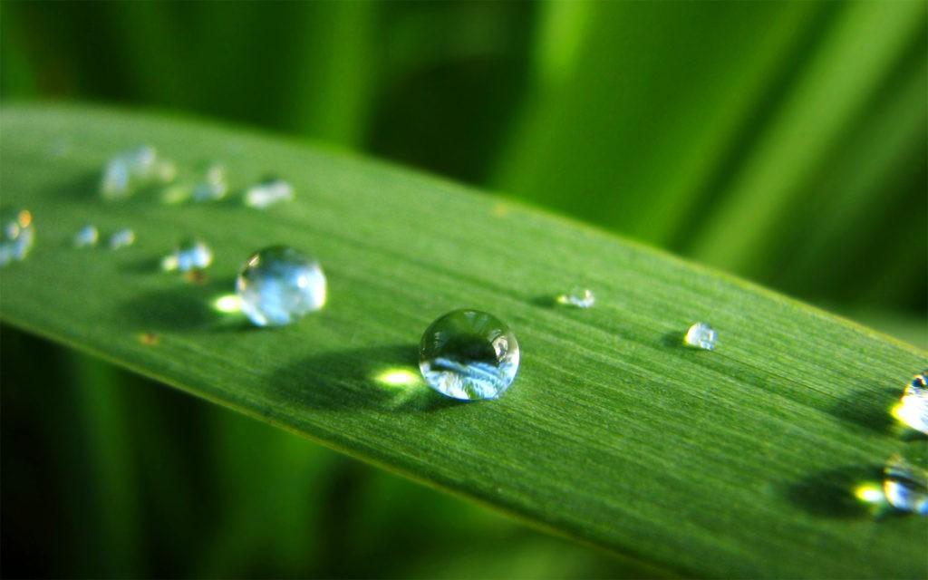 Капли воды на листе удерживаются благодаря поверхностному натяжению