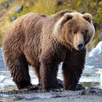 Кадьяк - самый большой бурый медведь
