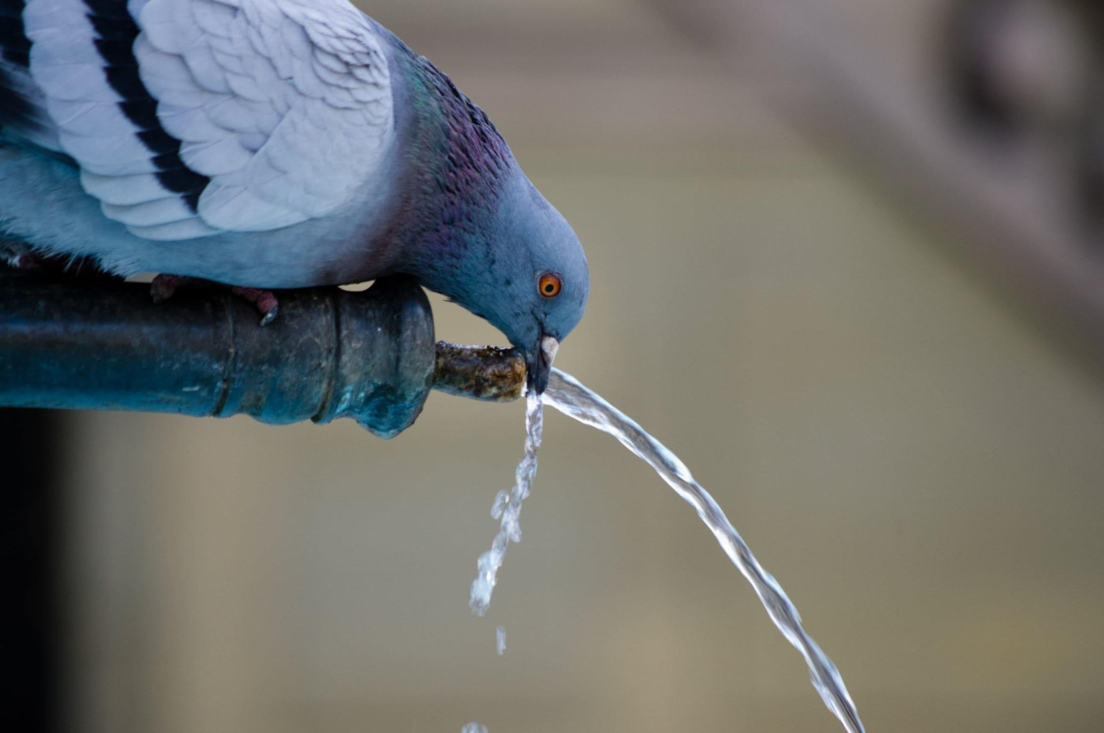 пьешь голубь картинка его выполнении необходимо
