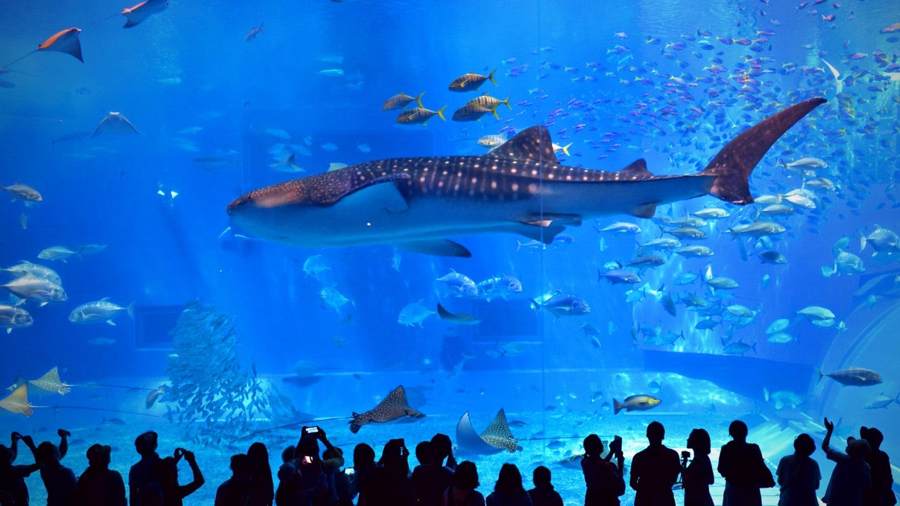 Китовая акула в океанариуме
