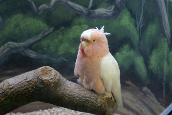 Попугай Cookie прожил 83 года