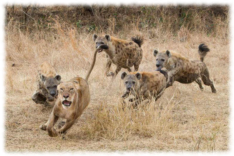 Клан гиен преследует львицу