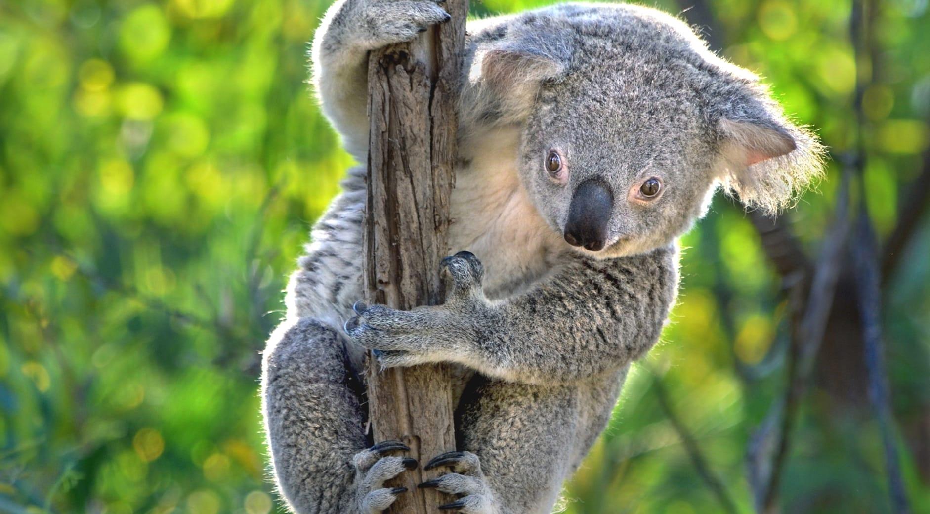 Большую часть жизни коалы проводят на деревьях