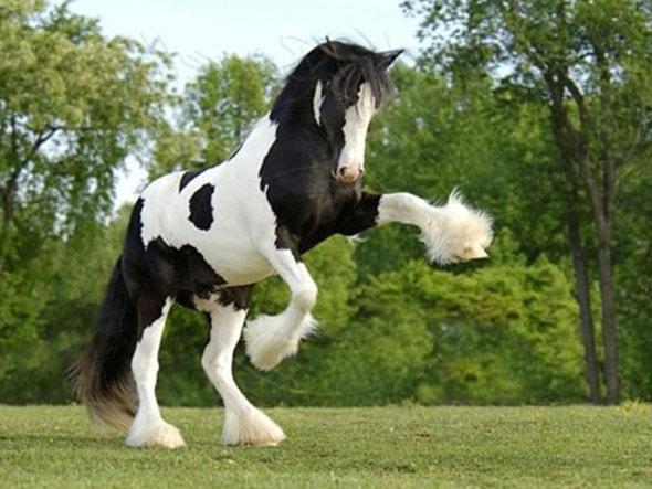 Лошадь, порода Клейдесдаль