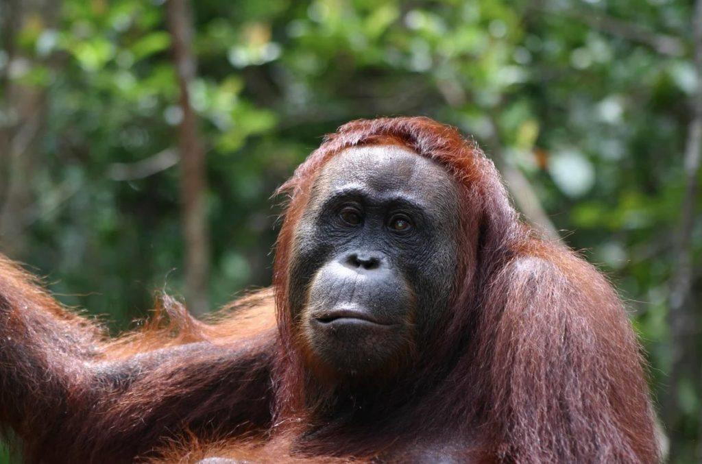 Климантанский орангутанг