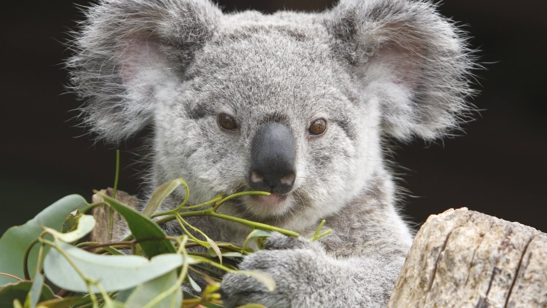 Люди стараются заботиться о коалах