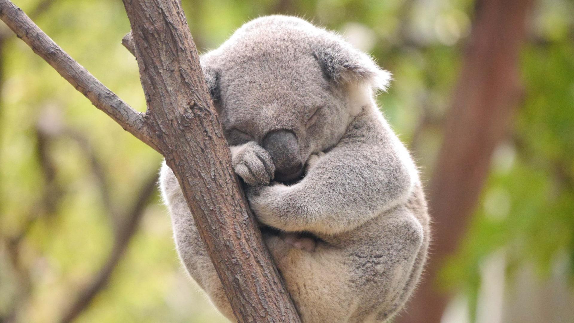 Коалы спят прямо на деревьях