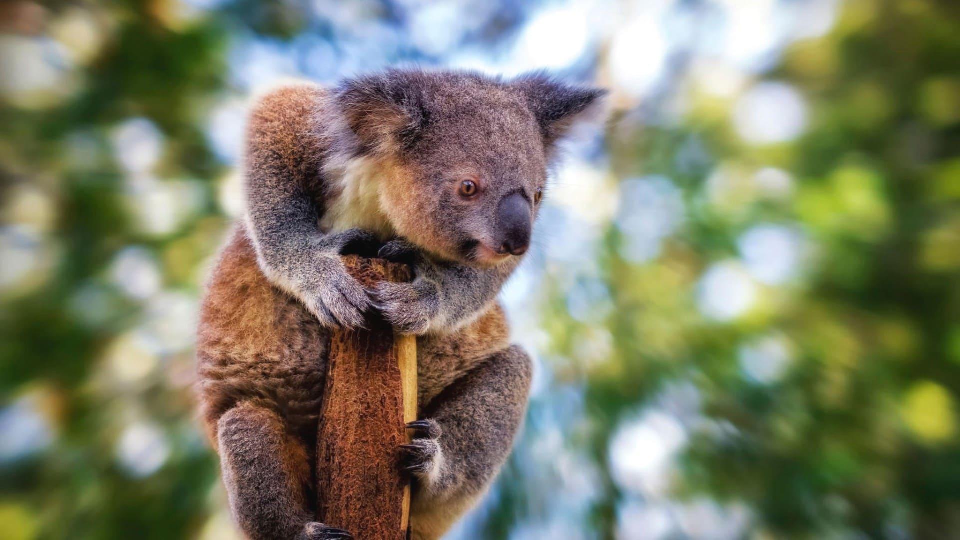 Все коалы принадлежат к одному виду