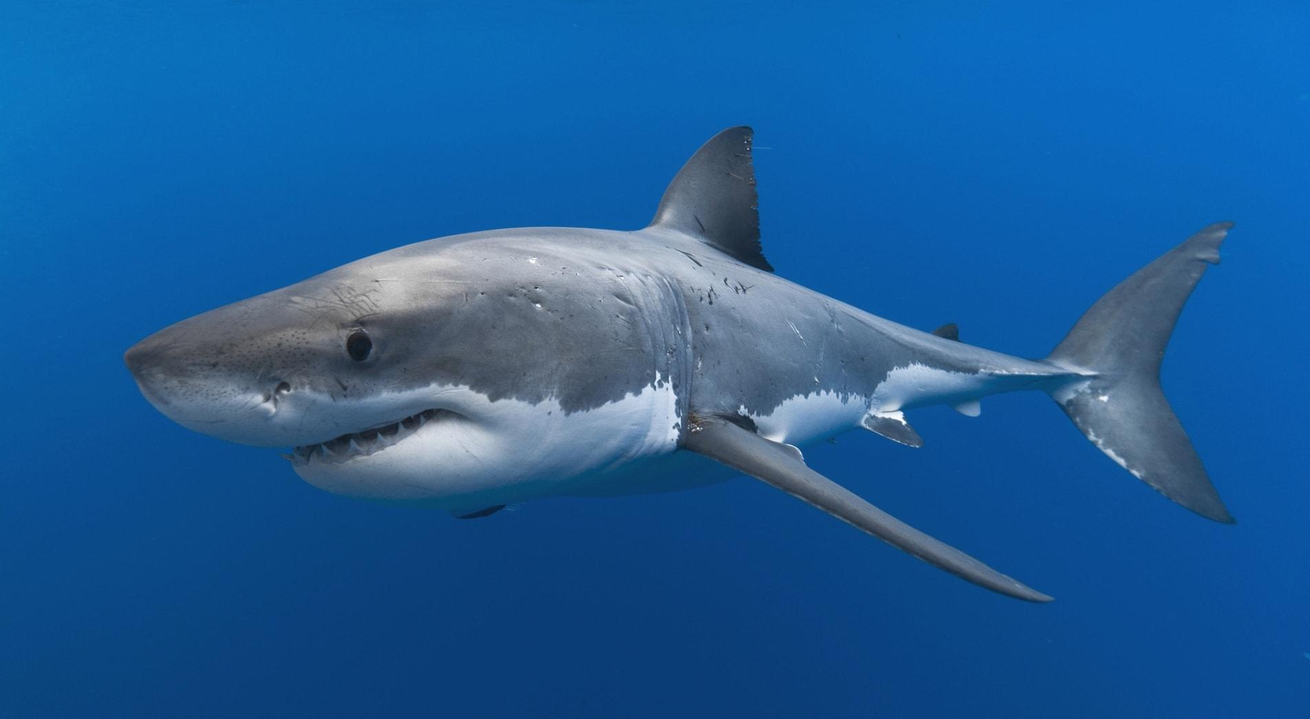 Акулы - одни из главных врагов осьминога