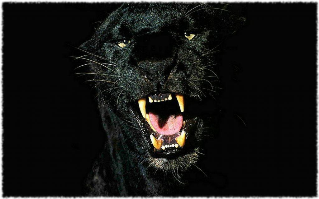 Клыки пантеры