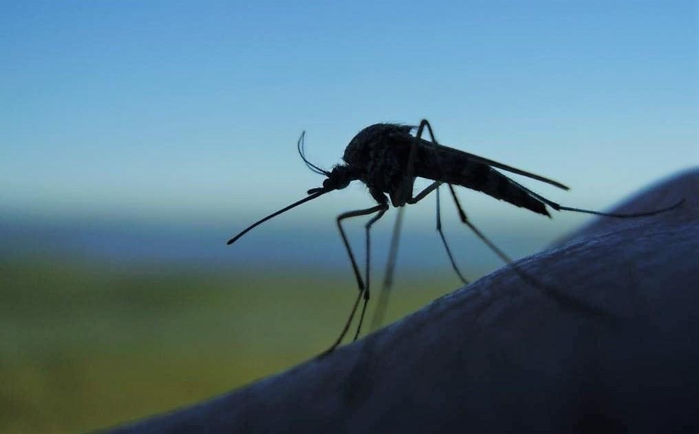 Фото комара крупным планом