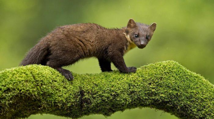 Куница - далекий предок медведя