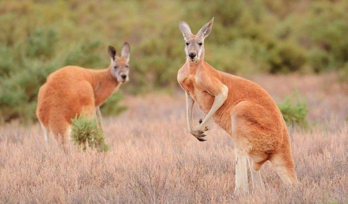 Могут ли кенгуру бегать?