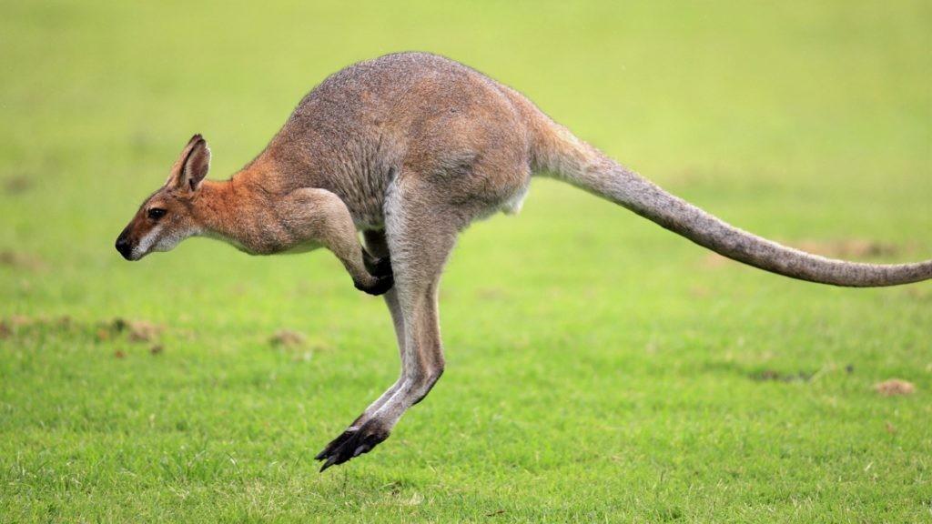 Изображение кенгуру в прыжке