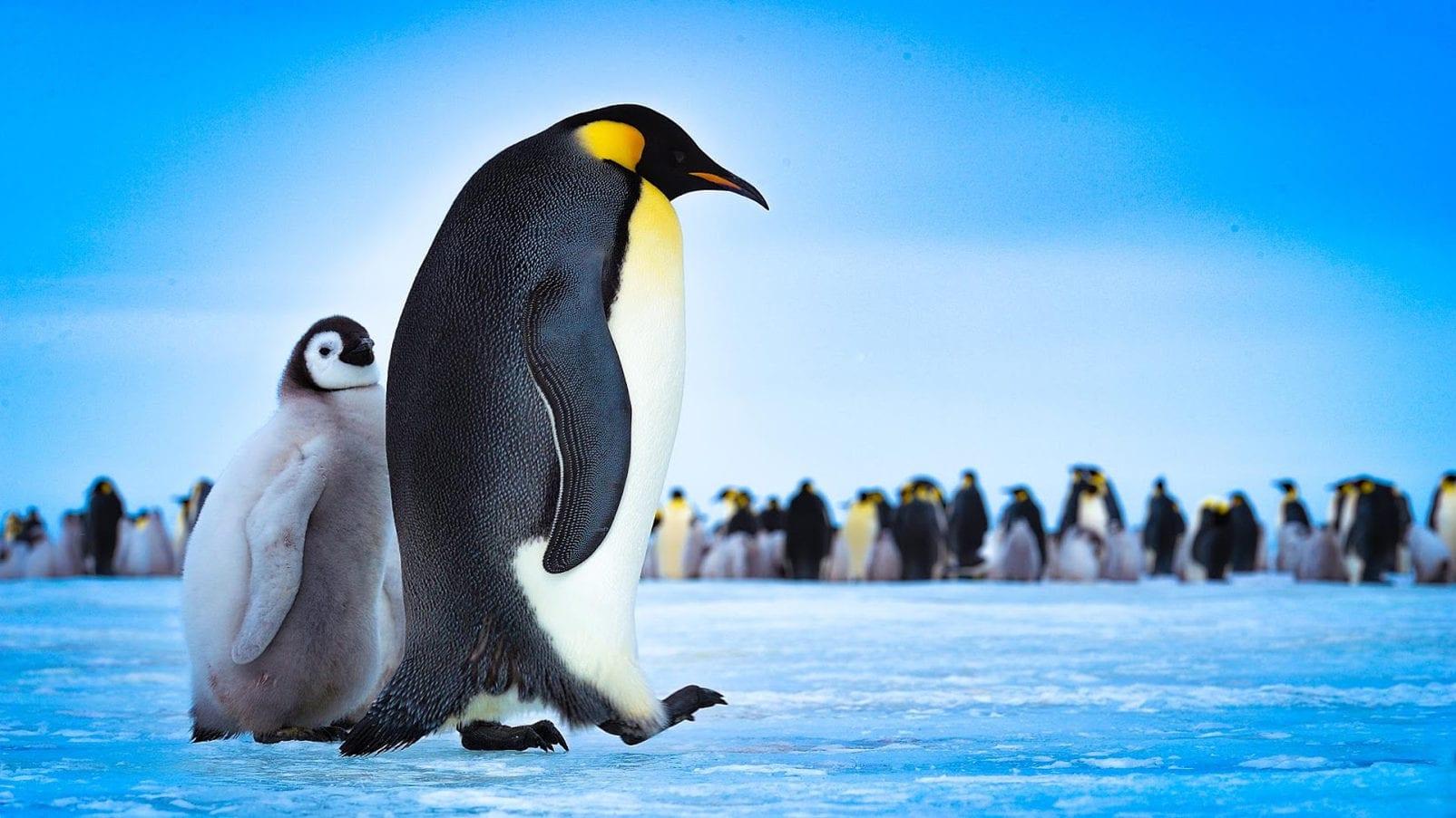 Почему полярные животные не отмораживают лапы на льду?