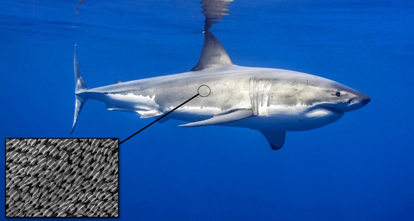 Кожа акулы под микроскопом